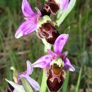 une trentaine d'espèces d'orchidées sauvages