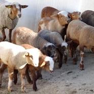 50-brebis-et-agneaux-ferme-de-lauris