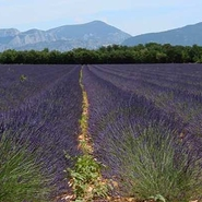 lavandes-plateau-valesol-alpes-de-haute-provence