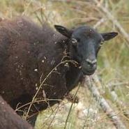 moutons-race-ouessant-gite-artignosc-verdon